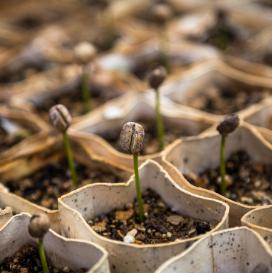 Une exigence de la plantation à la tasse